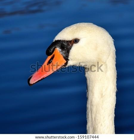 closeup portrait of Swans - stock photo