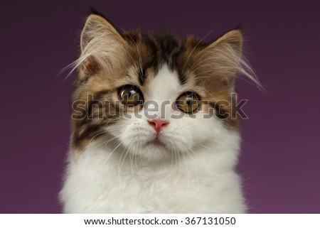 Closeup Portrait of Tabby Scottish straight Kitten on Purple Background - stock photo