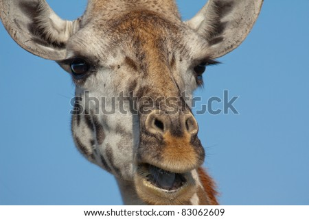 Closeup portrait of the face of a giraffe against a cloudless blue sky background.