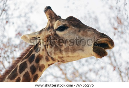 Closeup portrait of the giraffe chewing grass