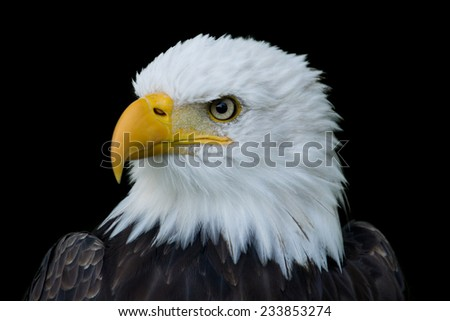 Closeup portrait of the head of an American Bald Eagle in profile, isolated on a black background. - stock photo
