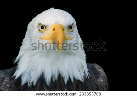 Closeup portrait of the head of an American Bald Eagle, isolated on a black background.