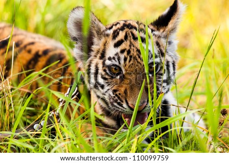 Closeup portrait of  tiger cub