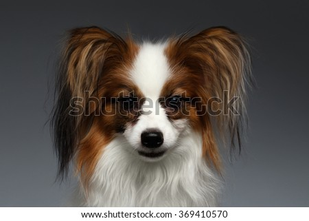Closeup Portrait of White Papillon Dog Looking in Camera on black background - stock photo