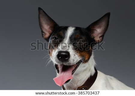 Closeup Portrait of Winked Jack Russell Terrier Dog squints, Dark background