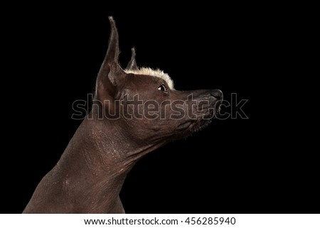 Closeup portrait of Xoloitzcuintle - hairless mexican dog breed, on Isolated Black background, Raising nose, Profile view - stock photo