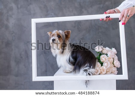 Closeup Portrait of yorkshire terrier dog with a bouquet of roses in a picture frame. Selective focus in the muzzle of a dog.