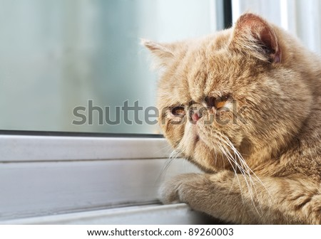 Closeup portrait photo of a CPA cat looking out through a window