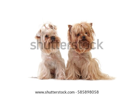 Closeup Portrait Yorkshire Terrier Dog on White