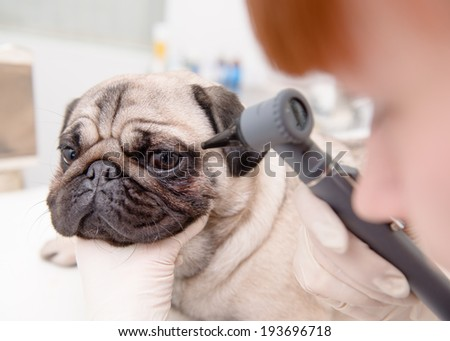 closeup professional veterinary doctor examining pet dog eye with an otoscope - stock photo