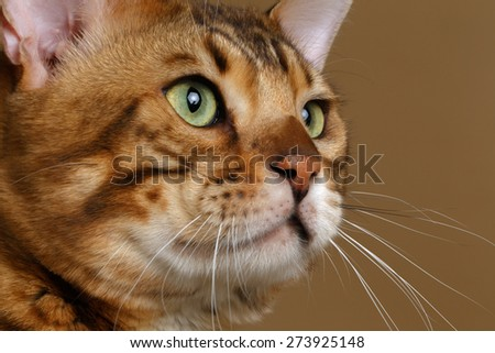 Closeup Profile Bengal Cat on Brown background - stock photo