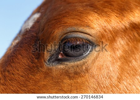 Closeup Profile of a Eye Brown Mare Horse - stock photo