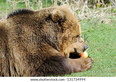 Closeup profile of hungry brown bear eating an apple