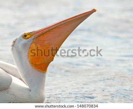 Closeup profile of throat pouch of American white pelican bird, pelecanus erythrorhynchos - stock photo