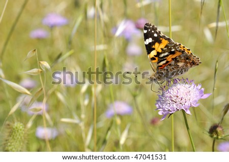 Closeup profile painted lady butterfly (Vanessa cardui) feeding on mauve scabiosa flower
