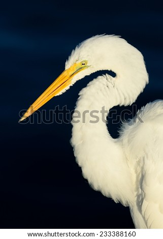 Closeup profile portrait Of A Great Egret, Or Great White Heron (Ardea alba) against a dreamy blue background. - stock photo
