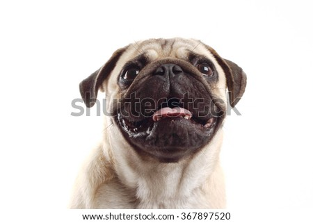 closeup Pug dog