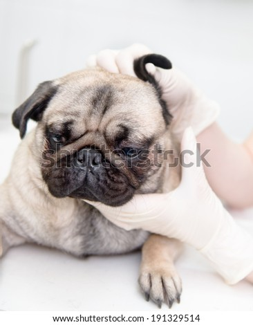 closeup pug dog having a check-up in his ear by a veterinarian - stock photo