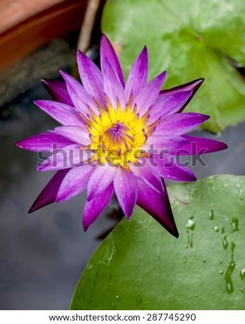 closeup purple lotus flower vertical style stock photo