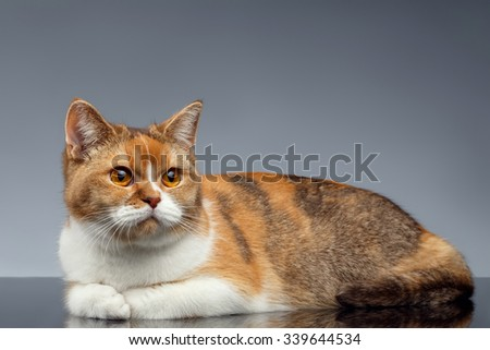 Closeup Red British Cat Lies on Gray Background - stock photo