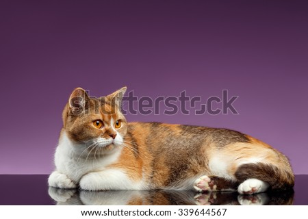 Closeup Red British Cat Lies on Purple Background