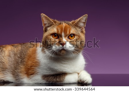Closeup Red British Cat Lies on Purple Background and Looking in Camera