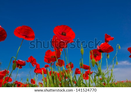 closeup red poppies - stock photo