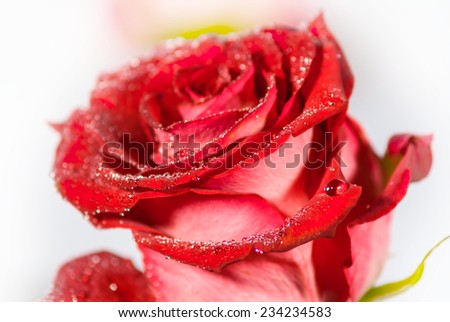 closeup red rose on a white background