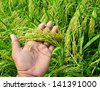 Closeup rice on hand up in paddy - stock photo