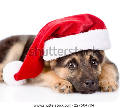 closeup sad puppy with santa hat. isolated on white background - stock photo