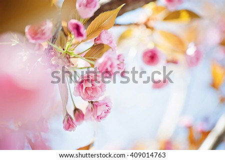 closeup sakura tree branch, cherry blossom. natural floral spring or summer background with soft focus and blur