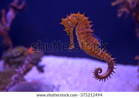 Closeup seahorse swimming in colorful coral reef - stock photo