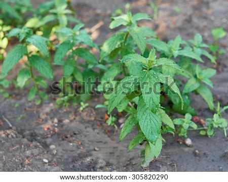 Closeup shoot of green peppermint plant with rain drops. (lat. Mentha piperita) - stock photo