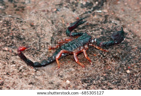 Closeup shot of a Asian scorpion just after a rain. Best for background and wallpaper purpose
