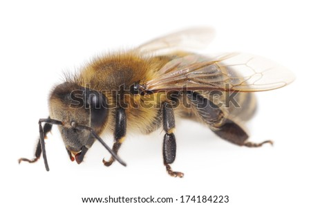 Closeup shot of a bee isolated on white background.