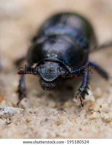 Closeup shot of a Black Forest dung beetle walking in the sandy rubble of a hiking trail