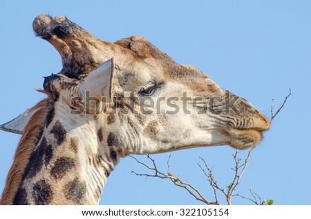 Closeup shot of a giraffe nibbling on a twig - stock photo