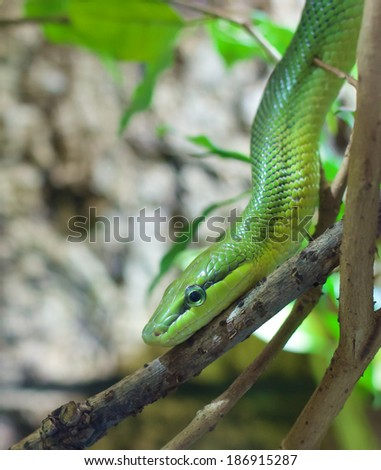 Closeup shot of a rat snake crawling down a tree branch