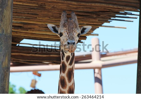 Closeup Shot of a Reticulated Giraffe (Giraffa Camelopardalis Reticulata) Hiding from the Sun in the Shade - stock photo