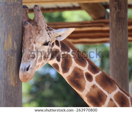 Closeup Shot of a Reticulated Giraffe (Giraffa Camelopardalis Reticulata) Scratching its Head on a Pole - stock photo