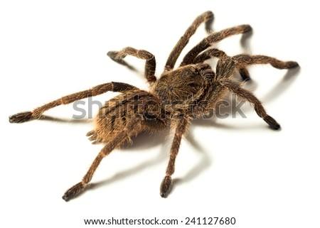 closeup shot of a small Haplopelma lividum captive breed tarantula isolated on white - stock photo