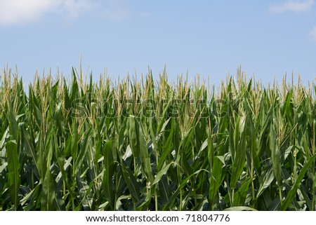 Closeup shot of a tasseled-out cornfield against a blue sky