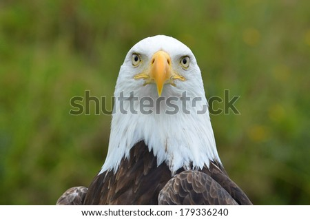 Closeup shot of an American Bald Eagle in the wild, our American bird of prey that conveys the perfect message. Nature at its best, beauty and symbolic emblem of all that we stand for in North America - stock photo