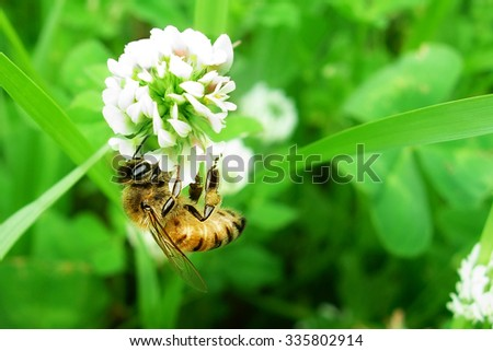 Closeup shot of bee at work on white clover flower collecting pollen - stock photo