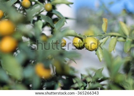 Closeup shot of fresh Kumquat,a kind of small orange hang on kumquat tree. Colorful fruit with great background (Tu Bishvat)