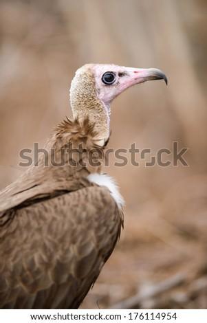 Closeup shot of Hooded Vulture (Necrosyrtes monachus), Kruger National Park, South Africa - stock photo