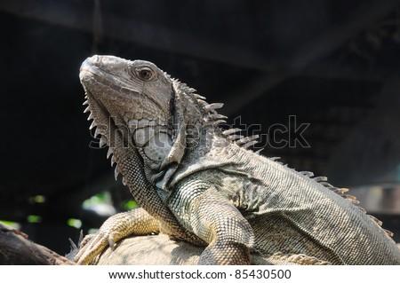 closeup shot of Iguana - stock photo