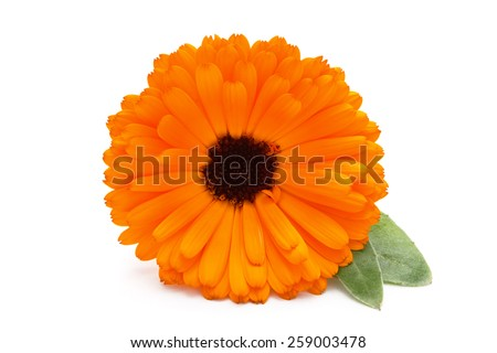 Closeup shot of marigold flower with leaves. Isolated on white background. - stock photo