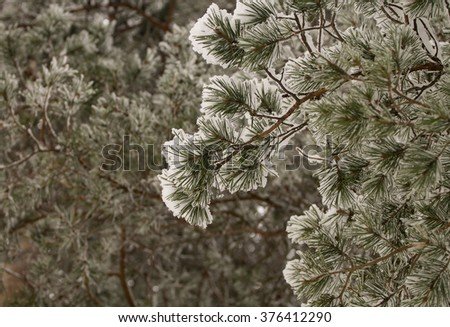 Closeup shot of pine tree branch in snow with another branches defocused on the background. - stock photo