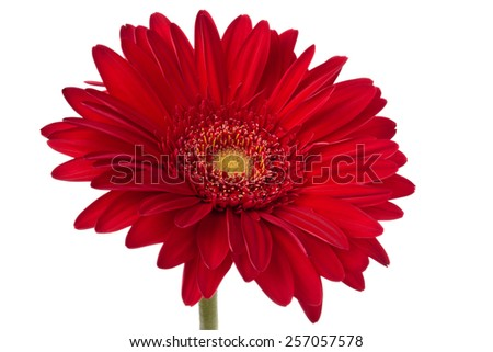 Closeup shot of red gerbera. Isolated on white background. - stock photo